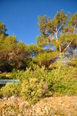 Dennenbomen Agkistri | Griekenland | De Griekse Gids foto 6 - Foto van De Griekse Gids