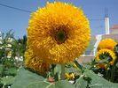 Zonnebloem op Kos - Foto van gwestenbrink
